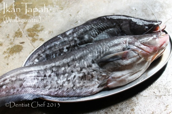 ikan tapah wallago attu fish