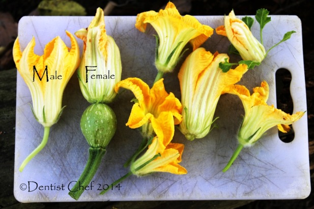 pumpkin blossom recipe squash blossom flower male female depp fried pumpkin blossom
