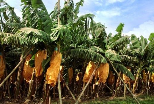 pisang sunpride