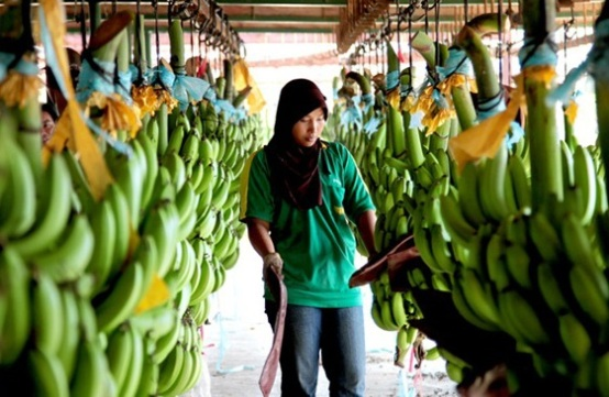 sunpride cavendish banana