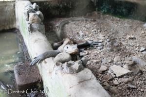 biawak punti kayu taman wisata alam kebun binatang