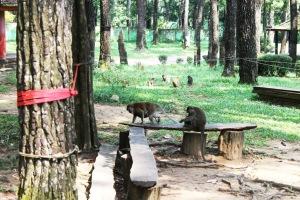 monyet beruk punti kayu mongkey forest