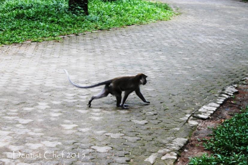 monyet punti kayu palembang