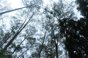 pine tree forest palembang punti kayu hutan pinus