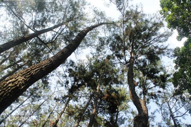punti kayu hutan pinus