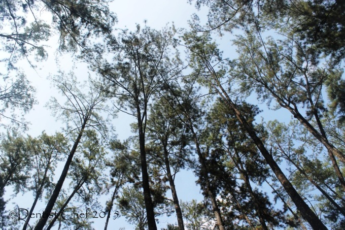 punti kayu taman wisata alam hutan pinus tengah kota